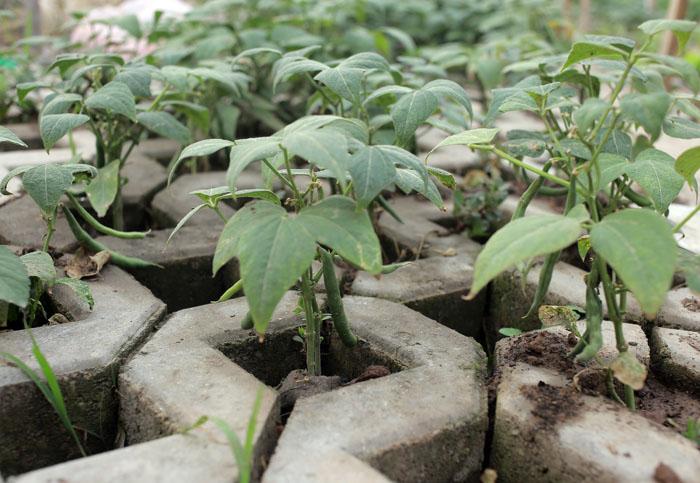 Người Hà Nội leo dốc, trồng rau trên hốc bê tông - 5