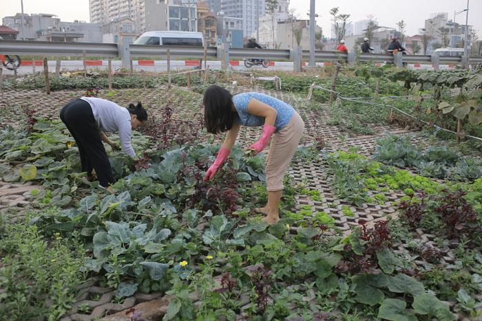 Người Hà Nội leo dốc, trồng rau trên hốc bê tông - 2