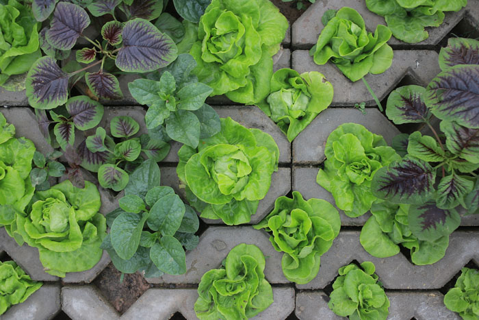 Người Hà Nội leo dốc, trồng rau trên hốc bê tông - 7