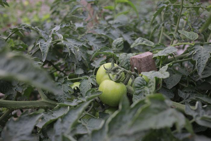 Người Hà Nội leo dốc, trồng rau trên hốc bê tông - 8