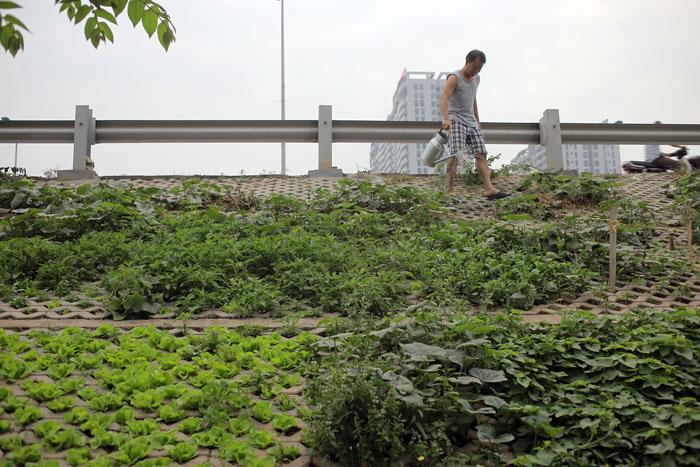 Người Hà Nội leo dốc, trồng rau trên hốc bê tông - 12