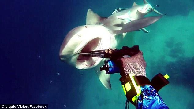 Hãi hùng cảnh cá mập điên cuồng tấn công thợ lặn ở Úc - 1
