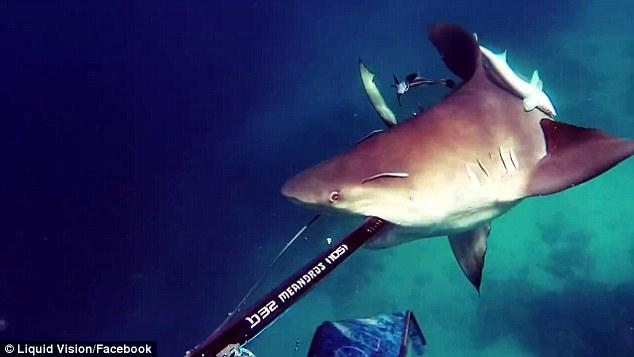 Hãi hùng cảnh cá mập điên cuồng tấn công thợ lặn ở Úc - 2