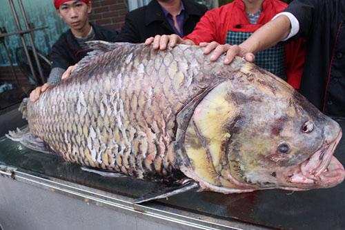 """Chi 140 triệu, """"rước"""" cá hô khủng từ Campuchia về HN - 4"""