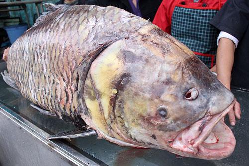 """Chi 140 triệu, """"rước"""" cá hô khủng từ Campuchia về HN - 2"""