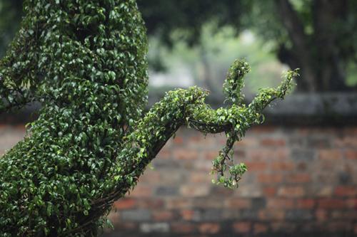 Cận cảnh cặp rồng kết từ cây xanh ở Văn Miếu - Quốc Tử Giám - 8