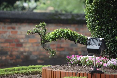 Cận cảnh cặp rồng kết từ cây xanh ở Văn Miếu - Quốc Tử Giám - 9