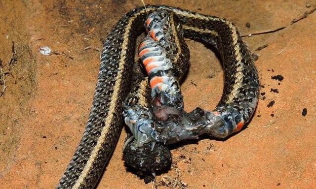 Nhện khổng lồ nanh dài 2cm xơi tái rắn to gấp nhiều lần - 4