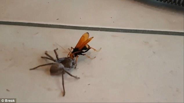 Video: Ong khổng lồ tha nhện thợ săn về tổ ăn thịt - 1