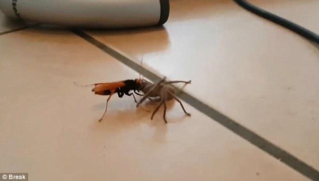 Video: Ong khổng lồ tha nhện thợ săn về tổ ăn thịt - 2