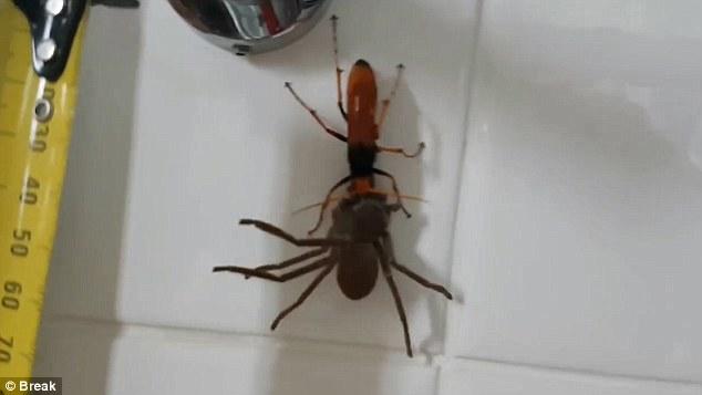 Video: Ong khổng lồ tha nhện thợ săn về tổ ăn thịt - 3
