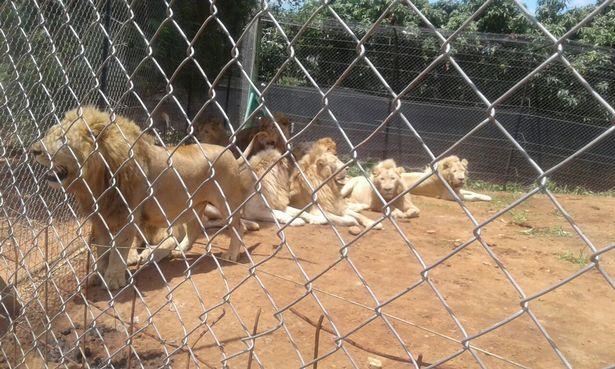 Lẻn vào khu sinh thái, chặt đầu 3 sư tử Nam Phi - 1