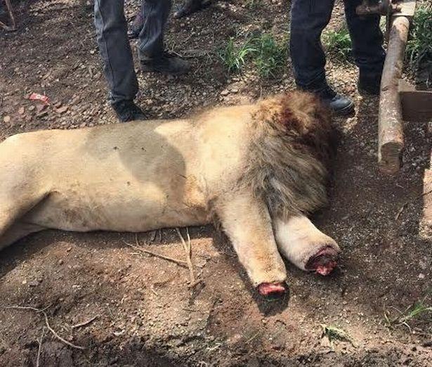 Lẻn vào khu sinh thái, chặt đầu 3 sư tử Nam Phi - 3