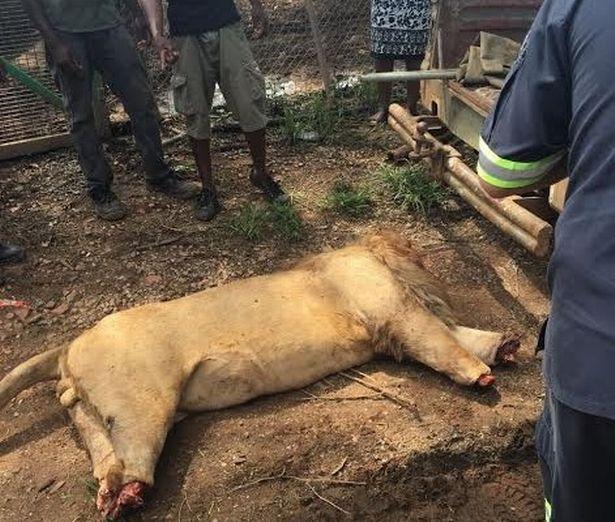 Lẻn vào khu sinh thái, chặt đầu 3 sư tử Nam Phi - 2