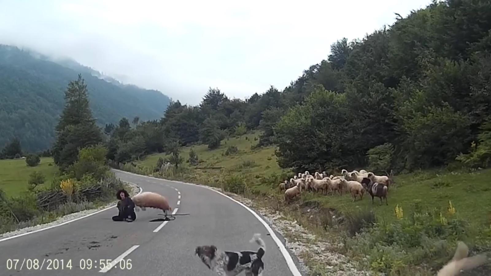 """Cừu hung hãn húc ngã người chăn như trút """"hận thù"""" - 2"""