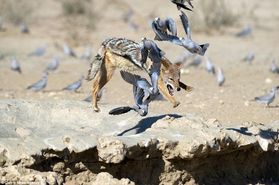 Chó rừng hùng hục giữa đàn bồ câu và kết quả hụt hẫng - 1