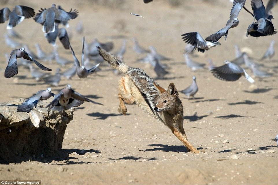 Chó rừng hùng hục giữa đàn bồ câu và kết quả hụt hẫng - 2