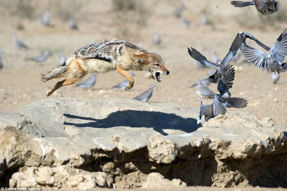 Chó rừng hùng hục giữa đàn bồ câu và kết quả hụt hẫng - 4