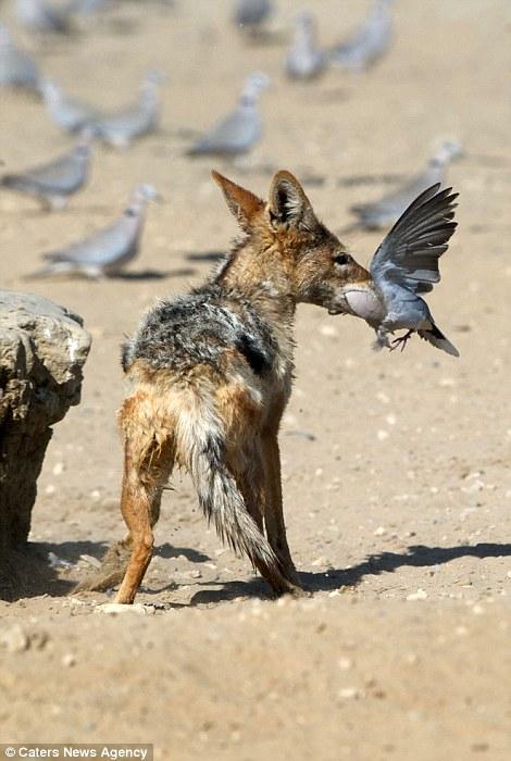 Chó rừng hùng hục giữa đàn bồ câu và kết quả hụt hẫng - 6