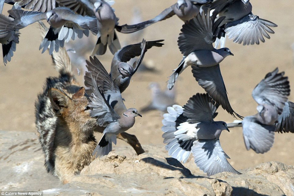 Chó rừng hùng hục giữa đàn bồ câu và kết quả hụt hẫng - 5