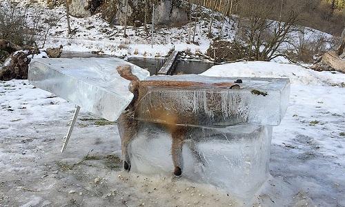 Cáo đông cứng đến chết trong quan tài băng âm 30 độ C - 1