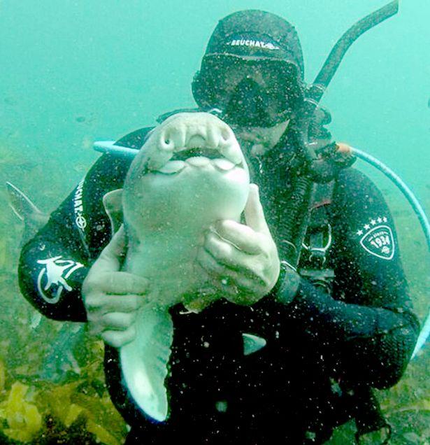 """Úc: Cá mập """"tiền sử"""" rúc vào tay thợ lặn đầy âu yếm - 2"""