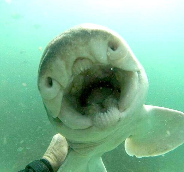 """Úc: Cá mập """"tiền sử"""" rúc vào tay thợ lặn đầy âu yếm - 3"""