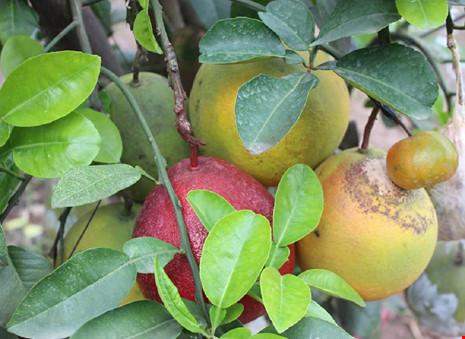 Tròn mắt ngắm 1 cây có tới... 9 loại quả - 3