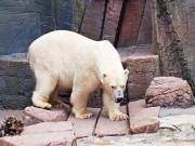 """Phi thường - kỳ quặc - Gấu Bắc cực phải chuyển nhà vì """"vợ muốn ly dị"""""""