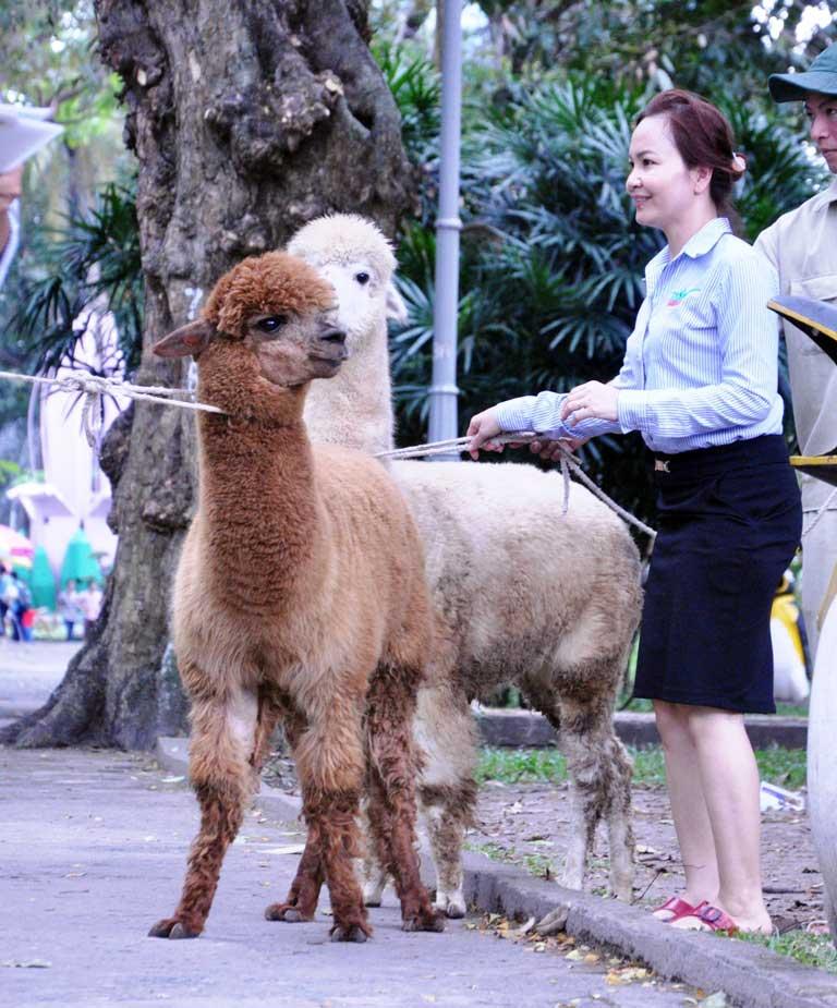 Ngắm lạc đà không bướu lần đầu xuất hiện ở Sài Gòn - 4