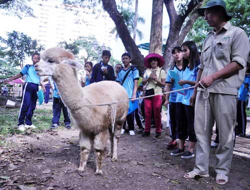 Ngắm lạc đà không bướu lần đầu xuất hiện ở Sài Gòn - 5