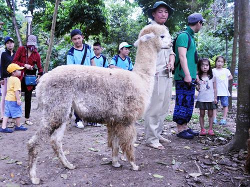 Ngắm lạc đà không bướu lần đầu xuất hiện ở Sài Gòn - 11