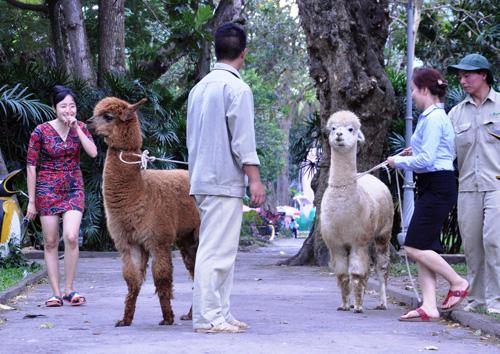 Ngắm lạc đà không bướu lần đầu xuất hiện ở Sài Gòn - 12