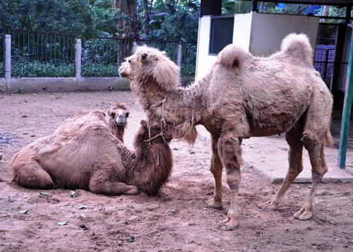 Ngắm lạc đà không bướu lần đầu xuất hiện ở Sài Gòn - 14