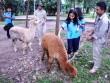 Ngắm lạc đà không bướu lần đầu xuất hiện ở Sài Gòn