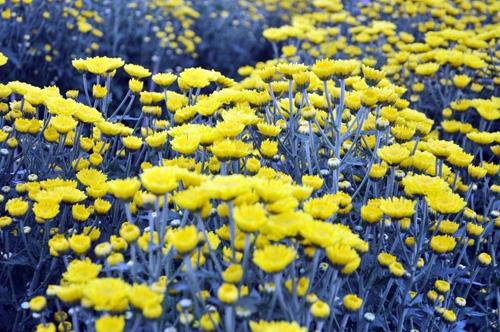 """Ngắm """"bức tranh"""" sắc màu trên những ruộng hoa Tết ở Sài Gòn - 5"""