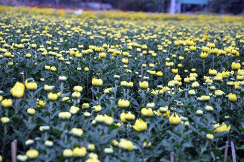 """Ngắm """"bức tranh"""" sắc màu trên những ruộng hoa Tết ở Sài Gòn - 4"""