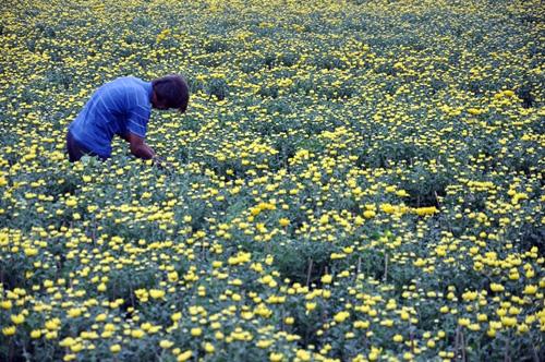 """Ngắm """"bức tranh"""" sắc màu trên những ruộng hoa Tết ở Sài Gòn - 2"""