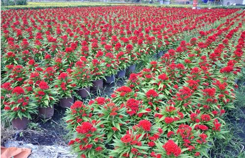 """Ngắm """"bức tranh"""" sắc màu trên những ruộng hoa Tết ở Sài Gòn - 1"""