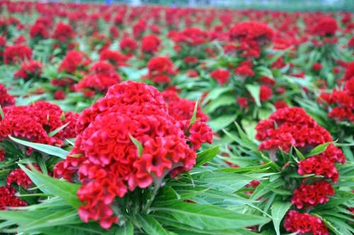 """Ngắm """"bức tranh"""" sắc màu trên những ruộng hoa Tết ở Sài Gòn - 9"""