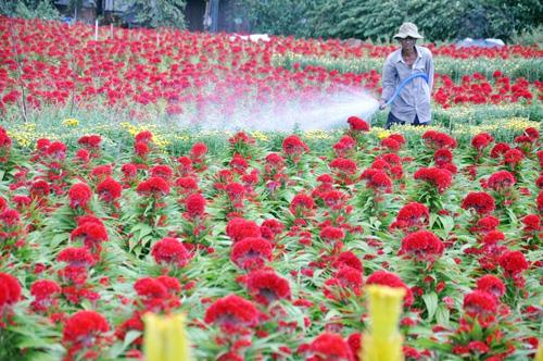 """Ngắm """"bức tranh"""" sắc màu trên những ruộng hoa Tết ở Sài Gòn - 8"""