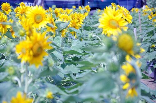 """Ngắm """"bức tranh"""" sắc màu trên những ruộng hoa Tết ở Sài Gòn - 7"""