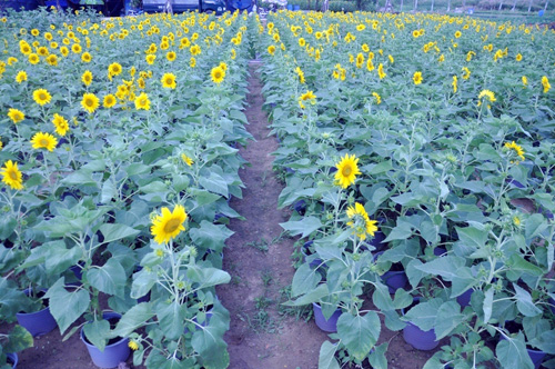 """Ngắm """"bức tranh"""" sắc màu trên những ruộng hoa Tết ở Sài Gòn - 6"""