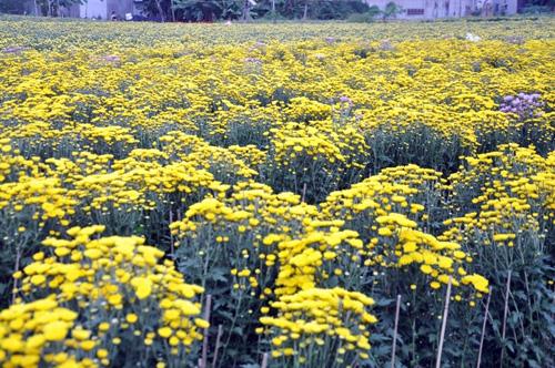 """Ngắm """"bức tranh"""" sắc màu trên những ruộng hoa Tết ở Sài Gòn - 10"""