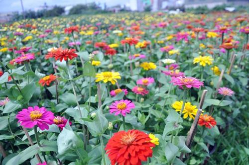 """Ngắm """"bức tranh"""" sắc màu trên những ruộng hoa Tết ở Sài Gòn - 12"""
