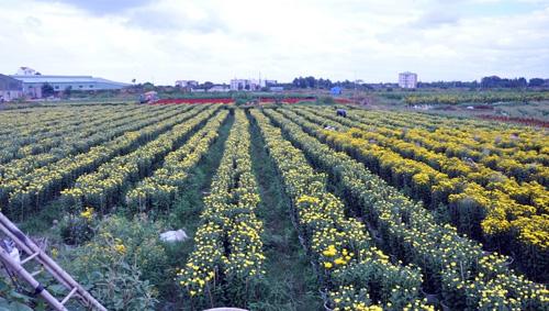 """Ngắm """"bức tranh"""" sắc màu trên những ruộng hoa Tết ở Sài Gòn - 13"""