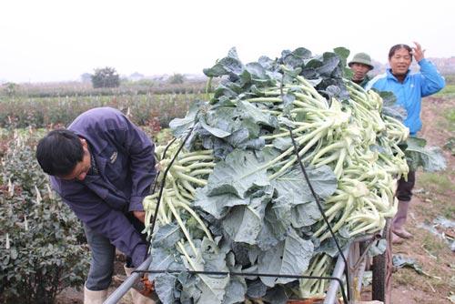 """Mê Linh - Hà Nội: Nông dân """"khóc ròng"""" vì rau... được mùa - 1"""