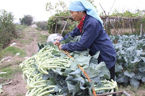 """Mê Linh - Hà Nội: Nông dân """"khóc ròng"""" vì rau... được mùa - 2"""