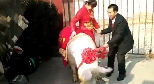 """Cô dâu """"cưỡi"""" lợn hơn 600kg về nhà chồng khiến dân làng náo loạn - 2"""