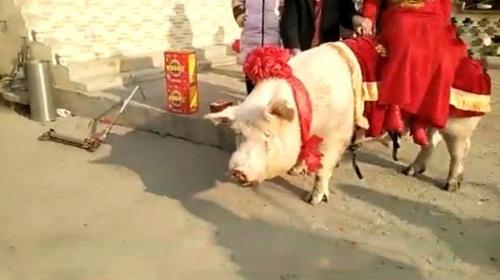 """Cô dâu """"cưỡi"""" lợn hơn 600kg về nhà chồng khiến dân làng náo loạn - 3"""